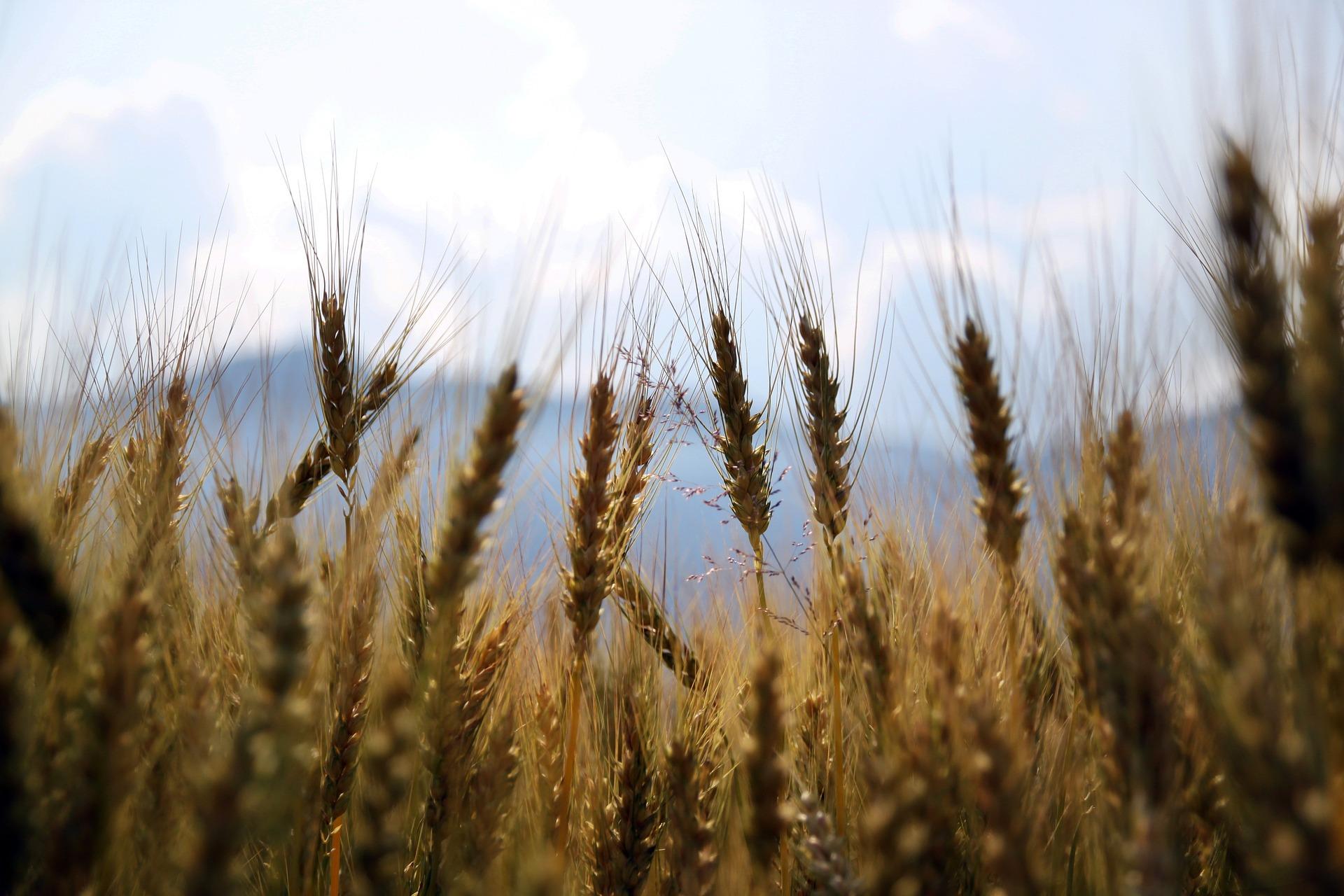 wheat-1149885_1920